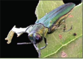 An Emerald Ash Borer perched on a leaf